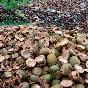 Kerala Coconut - discarded shells