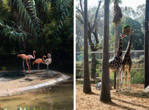 Barcelona zoo giraffes and flamingos photo